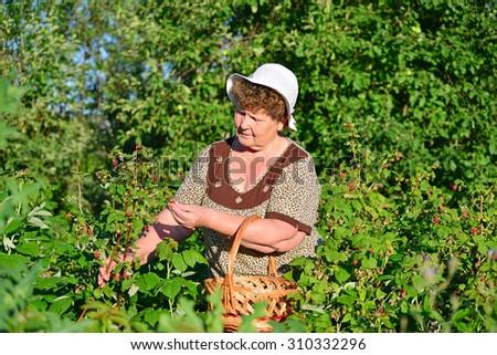An elderly woman gathering raspberries in the garden - stock photo