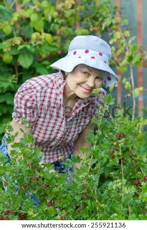 an elderly woman in the garden at the gooseberry Bush - stock photo