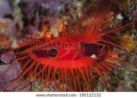 An electric clam (Ctenoides ales) is a marine file clam that is widespread throughout the tropical of the Indo-Pacific region. The light display by the clam comes from reflection of ambient light. - stock photo