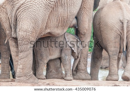 An elephant calf, Loxodonta africana, between its mothers legs. The mothers nipple is visible - stock photo