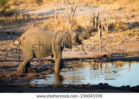 An elephant drinking at a waterhole. - stock photo