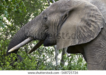 An elephant eats leaves from a tree in a South African game reserve. - stock photo