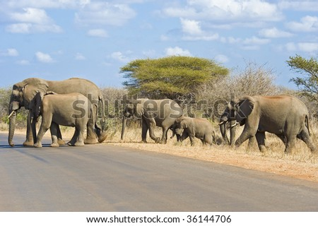 An Elephant family traveling along through the Kruger National Park in South Africa.