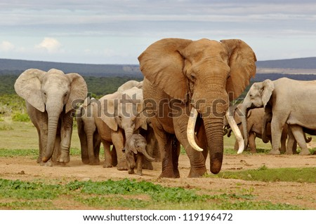 An elephant herd, led by a Magnificent 'Tusker' bull at a waterhole in the Addo Elephant National Park. - stock photo