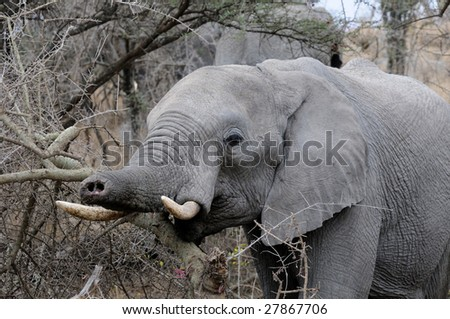 An Elephant in The Serengeti with a Truncated Trunk