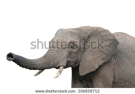 An elephant, isolated on white background - stock photo