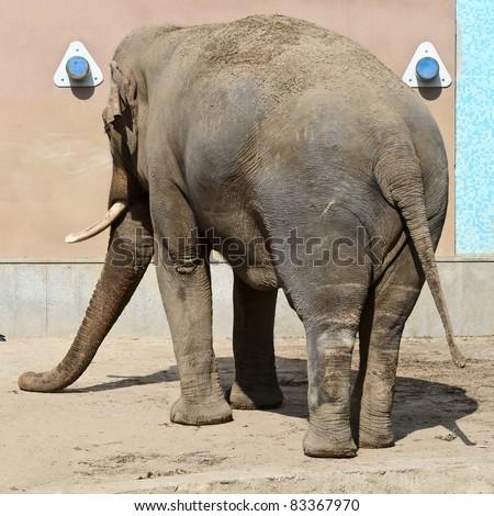 An elephant's back side close up. - stock photo