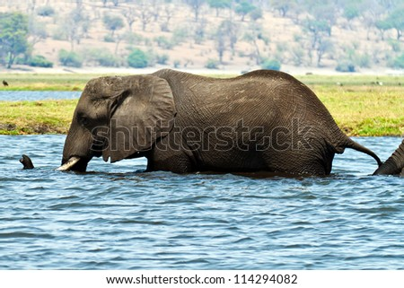 An elephant walking through the River Zambezi in the Chobe National Park in Botswana