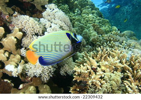 An Emperor Angelfish on a coral reef