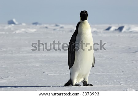 An emperor penguin standing in front of a beautiful Antarctic ice scenery. Picture was taken in the Atka Bay during a 3-month Antarctic research expedition. - stock photo