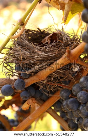 An empty birds nest in a grape vine.