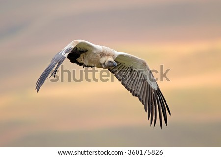 An endangered Cape vulture (Gyps coprotheres) in flight, South Africa - stock photo