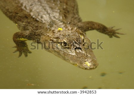 An endangered Chinese alligator floating in a green colored water.