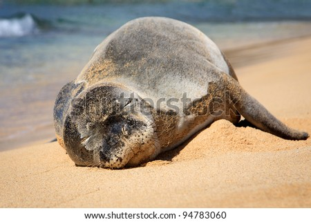 An endangered Hawaiian Monk Seal suns itself on the beach in Kauai, Hawaii - stock photo