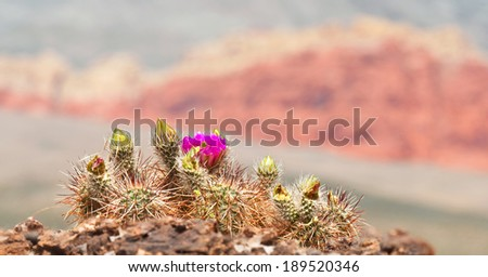 An Englemann's hedgehog cactus blossoms out of a rock in Red Rock Canyon State Park, Nevada.  - stock photo