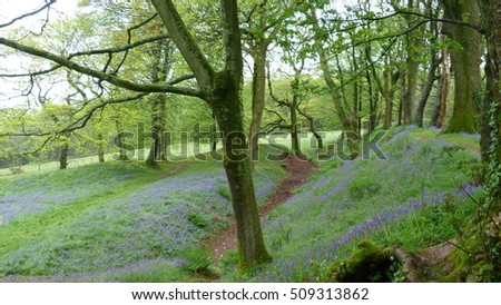 An English bluebell wood in Springtime
