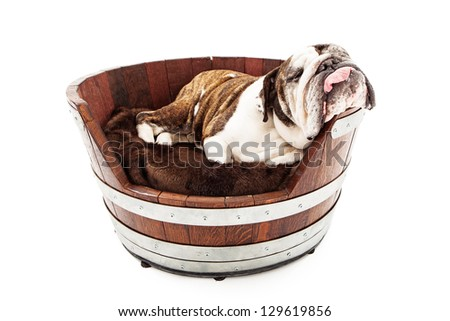 An English Bulldog taking a nap in a wooden dog bed with his head hanging off to the side and tongue hanging out - stock photo