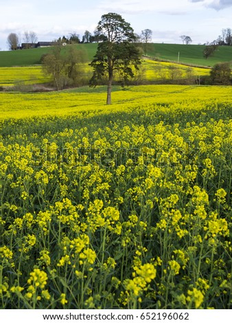 An english field full of yellow canola flowers in April, springtime, UK