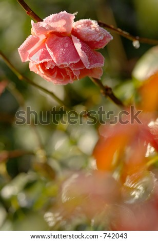 An English rose in November, rimmed with frost in the early morning.  Shallow depth of field - focus on rose. - stock photo