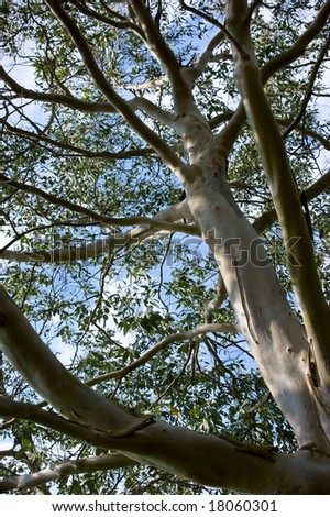 An eucalytus tree against the blue sky