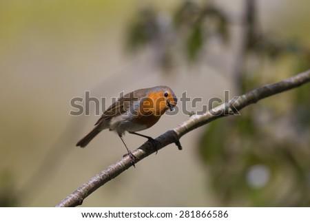 An European Robin (Erithacus rubecula) Perched on a Branch  - stock photo