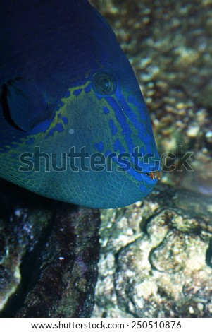 An Extreme Closeup of a Niger Triggerfish, Also Called the Red-Toothed Triggerfish (Odonus Niger) in a Home Aquarium. - stock photo