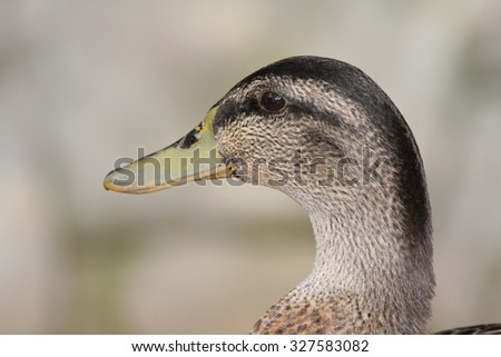 An Extreme Closeup of the Head of a Female Mallard Duck (Anas Platyrhynchos) - stock photo
