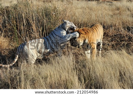 An extremely rare shot of a white tiger and a normal tiger together  - stock photo