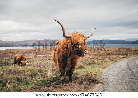 An hairy yak in the Scottish highlands enjoy a typical windy days under a gray cloudy sky