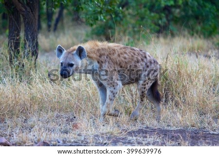 an hyena in the kruger national park south africa - stock photo