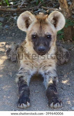 an hyena puppy in the kruger national park south africa - stock photo