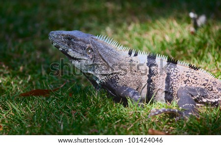 An iguana, spotlighted by the sun in a grassy field - stock photo