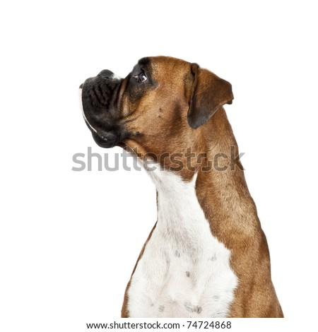 An image of a dog German Boxer - stock photo