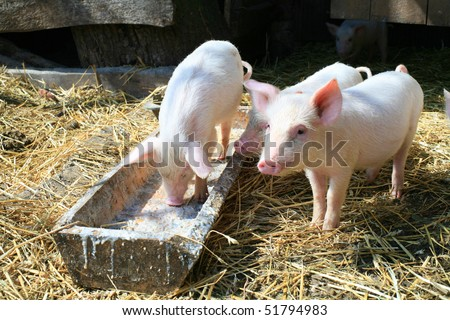 An image of a group of three little pigs - stock photo
