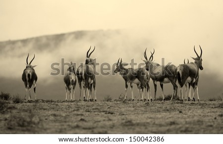 An image of a herd of Blesbuck with a misty mountain as a background. Taken in South Africa. - stock photo