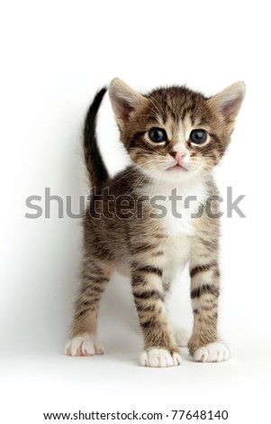 An image of a little kitten on white background - stock photo