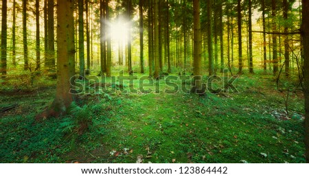 An image of a Pine forest at sunrise