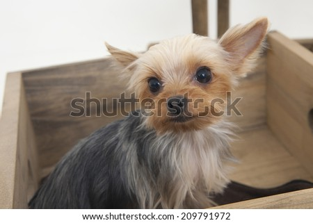 An Image of A Yorkshire Terrier