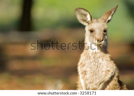 an image of an small eastern grey kangaroo in the wild
