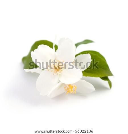 An image of beautiful flowers of jasmine - stock photo