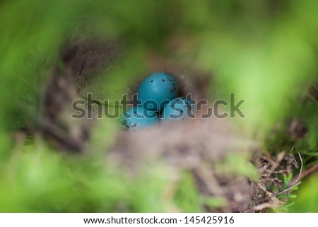 An image of blue eggs in nest - stock photo