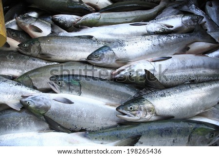 An Image of Catching Salmon - stock photo