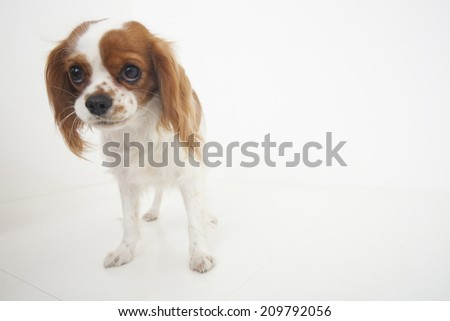 An Image of Cavalier - stock photo