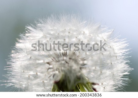 An Image of Dandelion