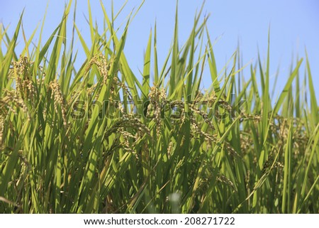 An Image of Ear Of Rice