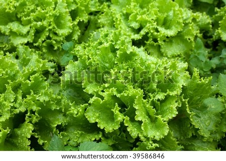 An image of fresh green lettuce close-up