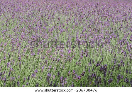 An Image of Lavender Field