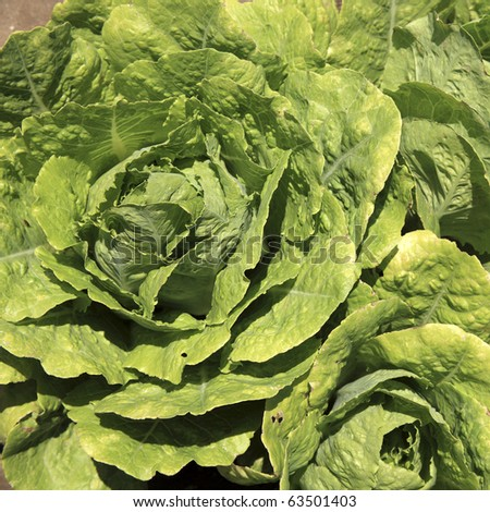 An image of lettuce fields in spring time - stock photo