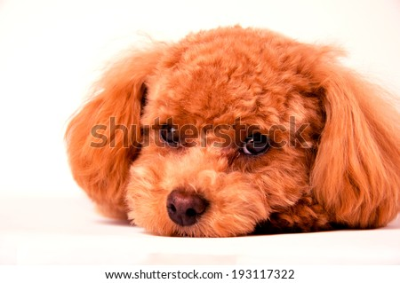 An image of Toy Poodle