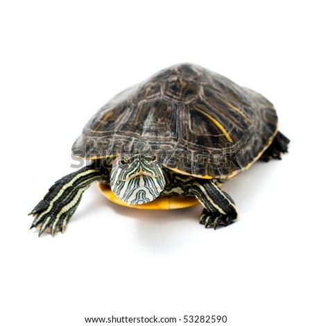 An image of turtle isolated on white background - stock photo